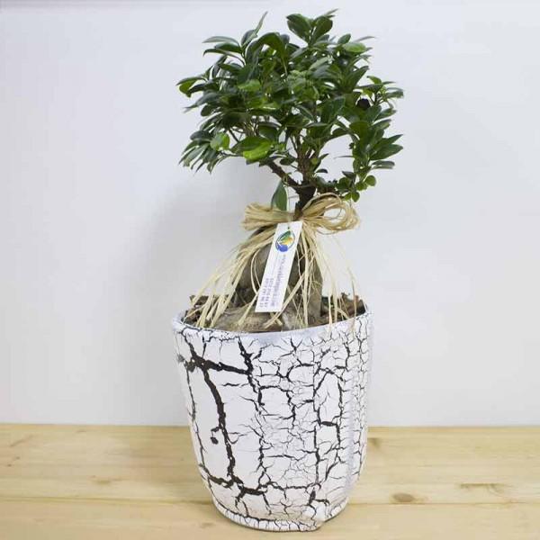 Bonzai Ficus Bonzai