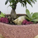 Bonzai Ficus Succulent vAmphora Pink Flowerpot