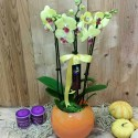 4 Twigs of Phalaenopsis Orchids