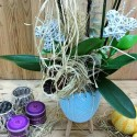 3 Dal Phalaenopsis Orkide