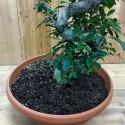 Bonzai  Büyük  Ginseng Bonsai