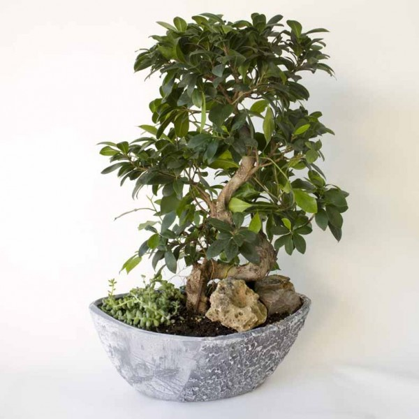 Large Ficus Bonsai